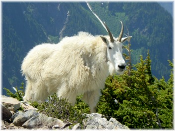 A Mountain Goat at Kool Aid Lake in the North Cascades